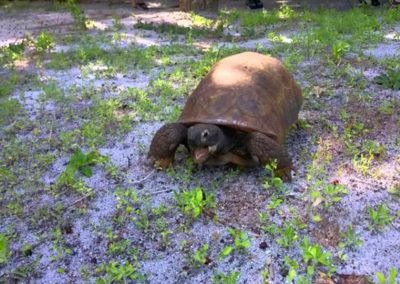 Egmont tortoise